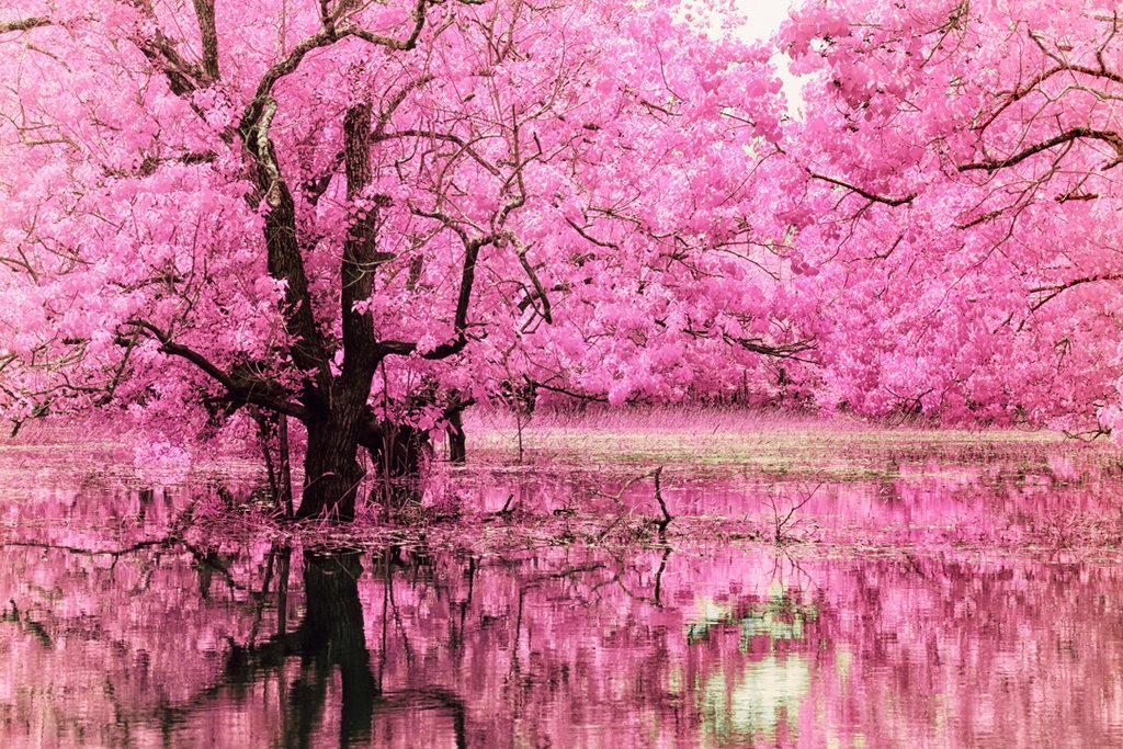 В Харькове высадят аллею деревьев сакуры